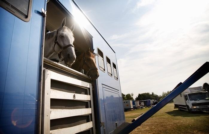 Jak przygotować i bezpiecznie przewieźć konia?
